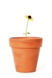 Einzelne Schwarz-äugige Susan in alter Terra Cotta Flower Pot Lizenzfreie Stockfotografie