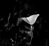 Einzelne Schwarzweiss-Mohnblume Stockfotos