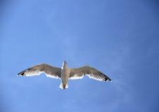 Einzelne Seemöwe auf dem blauen Himmel Stockbilder