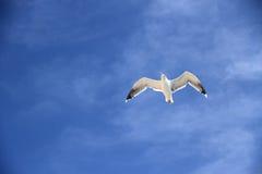 Einzelne Seemöwe auf dem blauen Himmel als Hintergrund Lizenzfreies Stockfoto