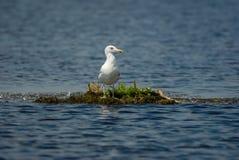 Einzelne Seemöwe auf sich hin- und herbewegender Insel im Donaudelta stockbilder