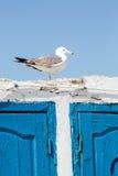 Einzelne Seemöwe, die auf alter Wand mit kontrastierendem blauem hölzernem steht Lizenzfreie Stockfotos