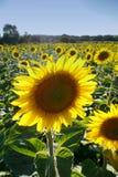 Einzelne Sonnenblume lizenzfreie stockbilder