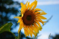 Einzelne Sonnenblume am Abend Lizenzfreie Stockfotografie