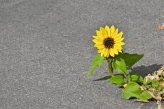 Einzelne Sonnenblume, die durch die Bürgersteigssprünge wächst stockfotos