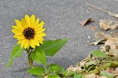 Einzelne Sonnenblume, die durch die Bürgersteigssprünge wächst stockbilder