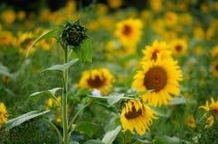 Einzelne Sonnenblume, die nicht wie die anderen blüht Stockfoto