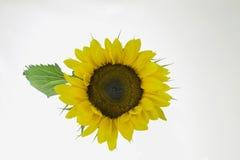 Einzelne Sonnenblume mit Blatt Stockbild