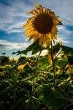 Einzelne Sonnenblume unter einer untergehenden Sonne stockbild