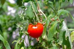 Einzelne Tomatenpflanze Lizenzfreie Stockfotos