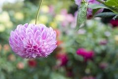 Einzelne umgedrehte Adlerfarn-Folge Dahlia Flower mit Blumen-Rückseite Stockbilder