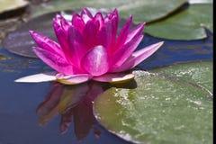 Einzelne Wasserlilie Stockbild