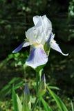 Einzelne weiß-violette Irisblume mit drei Knospen Lizenzfreie Stockfotografie