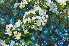 Einzelne weiße Apfelblüte der Blendung Stockfotografie