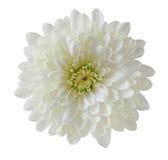 Einzelne weiße Chrysantheme Stockbilder
