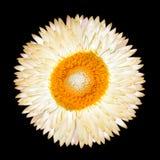 Einzelne weiße ewig Blume getrennt stockfotografie