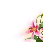 einzelne weiße Lilie in der Ecke Stockbild
