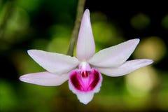 Einzelne weiße rosa Orchidee Lizenzfreies Stockfoto