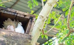 Einzelne weiße Taube (Taube) im Holzkiste-Nest an der Ecke mit Copyspace Lizenzfreies Stockbild