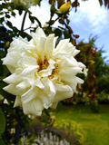 Einzelne Weißrosenblume Stockfoto