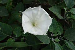 Einzelne wei?e Blume von Stechapfel innoxia lizenzfreie stockfotos