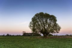 Einzelne Weide in der Wiese nach Sonnenuntergang Lizenzfreie Stockfotos