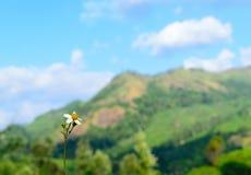 Einzelne wilde weiße Blume gegen Gebirgshintergrund lizenzfreies stockbild