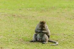 einzelner Affe im Gras Stockbilder