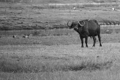 Einzelner afrikanischer Büffel, der nahen Fluss steht Lizenzfreie Stockfotografie