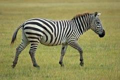 Einzelner afrikanischer Zebra Lizenzfreies Stockfoto