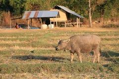 Einzelner Büffel, der auf dem Feld steht   Stockbilder