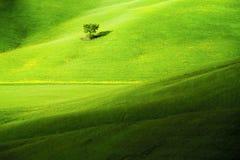 Einzelner Baum auf toskanischem Feld Lizenzfreies Stockbild