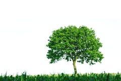 Einzelner Baum auf weißem Hintergrund Stockfotografie