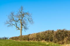 Einzelner Baum in der englischen Hecke im Winter stockfoto
