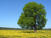 Einzelner Baum an der Frühlings-Wiese Lizenzfreies Stockfoto