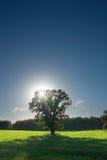 Einzelner Baum, Greenfield und Wald Lizenzfreie Stockbilder