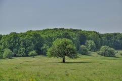 Einzelner Baum im Frühjahr mit Wald als Hintergrund Stockbild