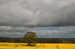 Einzelner Baum im Rapsfeld gegen stürmischen Himmel Lizenzfreie Stockbilder