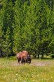 Einzelner Bison Grazing in der Yellowstone Nationalpark Vertikale Orien stockfotografie