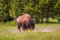 Einzelner Bison Grazing in Yellowstone Nationalpark stockbild