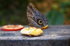 Einzelner Briefträger-Schmetterling oder gemeiner Briefträger Stockfotos