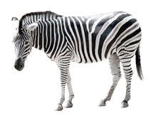 Einzelner burchell Zebra getrennt auf Weiß Stockfoto