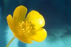 Einzelner Butterblumeblumennahaufnahme-Blauhintergrund Lizenzfreie Stockbilder