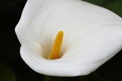 Einzelner Calla Lily Flower On Dark Background Lizenzfreie Stockbilder