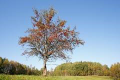 Einzelner Ebereschenbaum Stockfotos