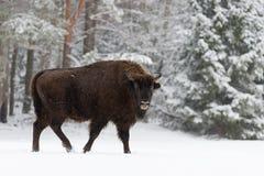 Einzelner erwachsener wilder Europäer Brown Bison Bison Bonasus On Snowy Field bei Forest Background Europäische Landschaft der w stockbild