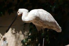 Einzelner eurasischer Spoonbill Stockfotografie