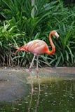 Einzelner Flamingo Stockfoto