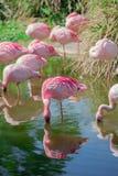 Einzelner Flamingo auf dem See mit Spiegeleffekt Lizenzfreies Stockfoto