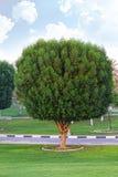 Einzelner frischer grüner Baum auf dem Gebiet mit einem Hintergrund des bewölkten Himmels Lizenzfreies Stockfoto